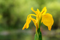 Yellow water iris Stock Photo