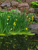 Yellow water iris Royalty Free Stock Photos
