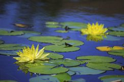 Yellow water lilies in Balboa Park, San Diego Royalty Free Stock Images