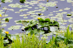 Yellow water lilies blooming in a lake Royalty Free Stock Photos