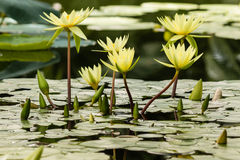 Yellow water lilies Royalty Free Stock Image