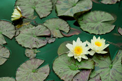 Yellow water lilies. And nenuphar leaves on green pond water Royalty Free Stock Photography