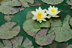 Yellow water lilies. And nenuphar leaves on green pond water Royalty Free Stock Image