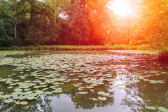 Yellow water lilies in park pond in sunlight Royalty Free Stock Photo
