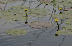 Yellow water lillies Royalty Free Stock Image