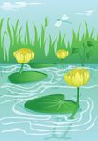 Yellow water lillies in calm water Royalty Free Stock Photos