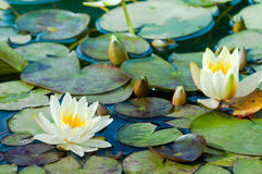 Yellow water lillies Stock Photos