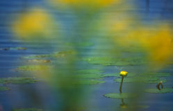 Yellow water lilly. Water lilly photographed through goldenrod Stock Photography