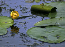 Yellow water lily. And leaf royalty free stock photo