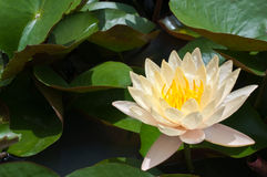 Yellow water lily Royalty Free Stock Images