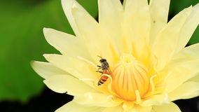 Yellow water lily and a bee. Close up stock footage