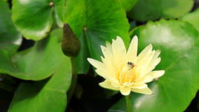 Yellow water lily and a bee. Close up of yellow water lily and a bee stock video