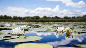 Yellow water lily blooms. Yellow water-lily and its reflection Royalty Free Stock Photography