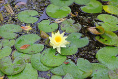 Yellow water lily Stock Photography