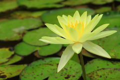 Yellow water lily. Close up of yellow water lily blooming in a pond stock photos