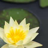 Yellow water lily Stock Image