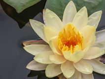 Yellow Water Lily Floating in Pond, Closeup Stock Image