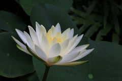 Yellow Water Lily Flower. Stock Images