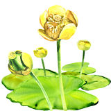 Yellow water-lily flower, Nuphar lutea, isolated, watercolor illustration Stock Photo