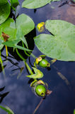 Yellow Water-lily fruits royalty free stock photo