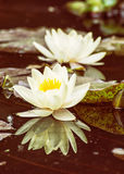 Yellow water lily in the garden pond, seasonal natural backgroun Stock Photography