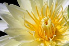 Yellow water lily isolated on black Stock Image