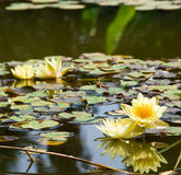 Yellow water lily (lotus) Stock Image