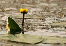 Yellow water lily(Nuphar lutea),horizontal. Poland,summer.Young water lily growing in the old river bed.Summer morning.Horizontal view Royalty Free Stock Image