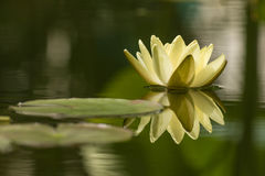 Yellow water lily Royalty Free Stock Photos