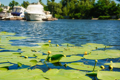 Yellow Water lily on river Stock Image