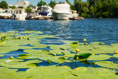 Yellow Water lily on river Stock Photo