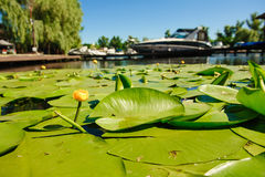 Yellow Water lily on river Royalty Free Stock Photography