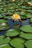 Yellow water lily Royalty Free Stock Image