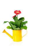 Yellow watering can with Gerber flower Royalty Free Stock Photography