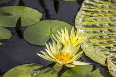 Yellow waterlili Stock Photography
