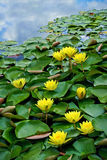 Yellow waterlilies in pond Stock Image