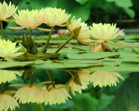 Yellow waterlilies with reflection Royalty Free Stock Images