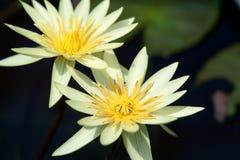 Yellow waterlily Stock Photo