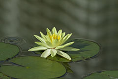 Yellow waterlily. A beautiful yellow waterlily sit on a calm and peaceful lake water, rain is just begin and a raindrop make an wave and start to disturb the Royalty Free Stock Images