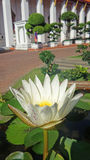 Yellow Waterlily Stock Images