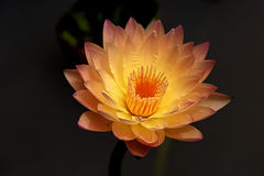 Yellow Waterlily Stock Photo