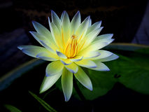 Yellow Waterlily Stock Photography