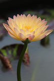 Yellow Waterlily Stock Photos