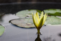 Yellow waterlily or lotus flower blooming Royalty Free Stock Photography