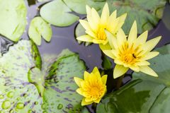 yellow waterlily or lotus flower blooming Stock Photo