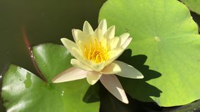Yellow waterlily moves in the breeze stock footage