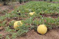 Yellow watermelons growing in the field Stock Photography