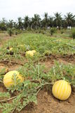 Yellow watermelons growing in the field Stock Images