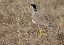 Yellow Wattled Lapwing. A Yellow Wattled Lapwing on the ground at Pench Tiger Reserve in India Royalty Free Stock Photo