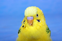 Yellow, wavy parrot. Stock Photography